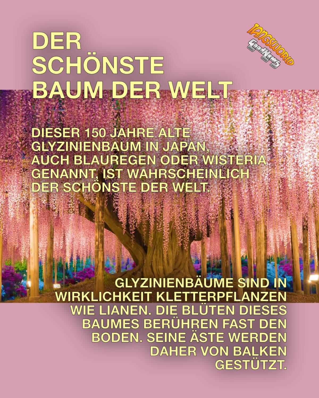 Dieser 150 Jahre alte Glyzinienbaum in Japan - auch Blauregen oder Wisteria genannt, ist wahrscheinlich der schönste der Welt. - GoodNews