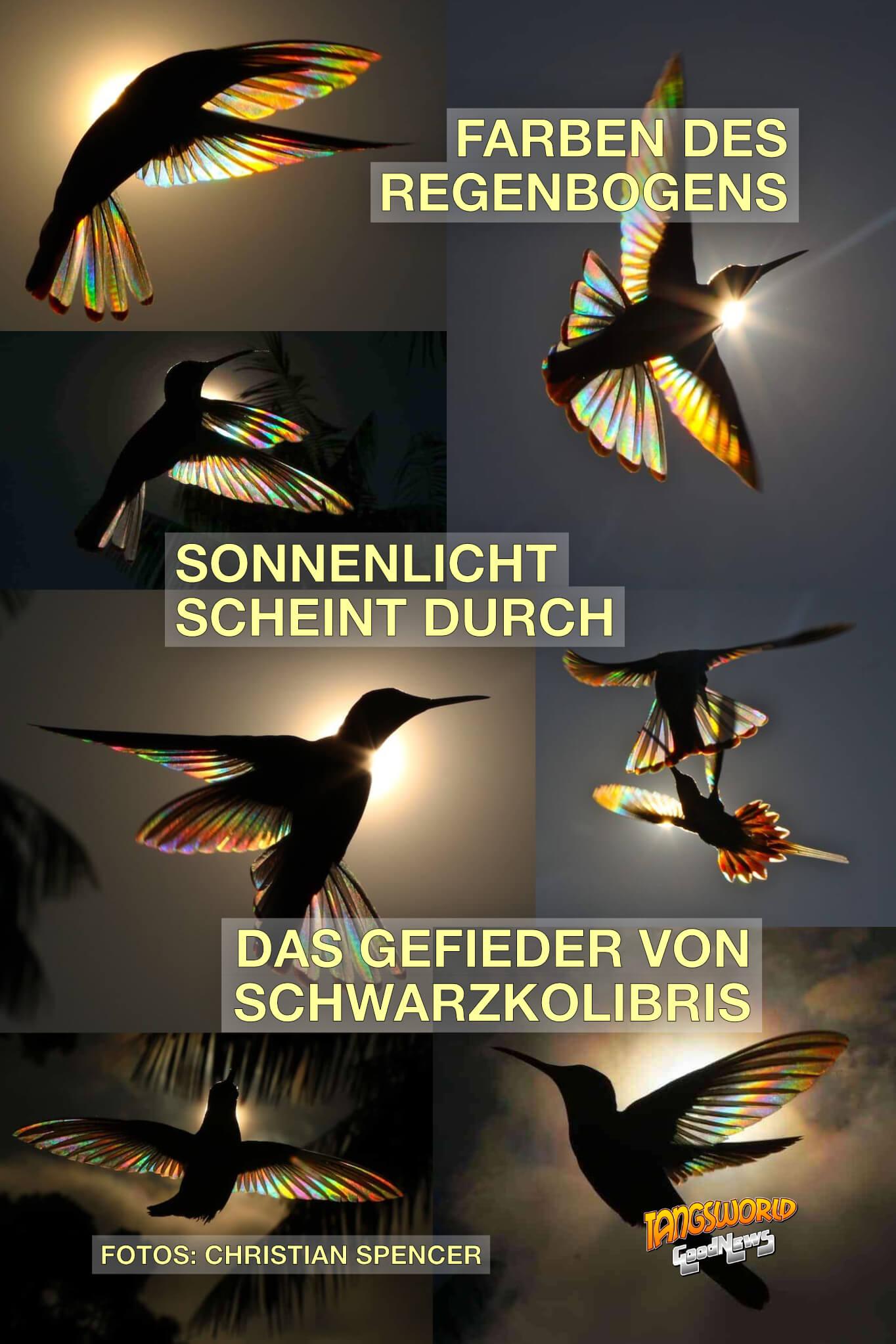 Farben des Regenbogens. Sonnenlicht scheint durch das Gefieder von Schwarzkolibris - GoodNews | Fotos: Christian Spencer