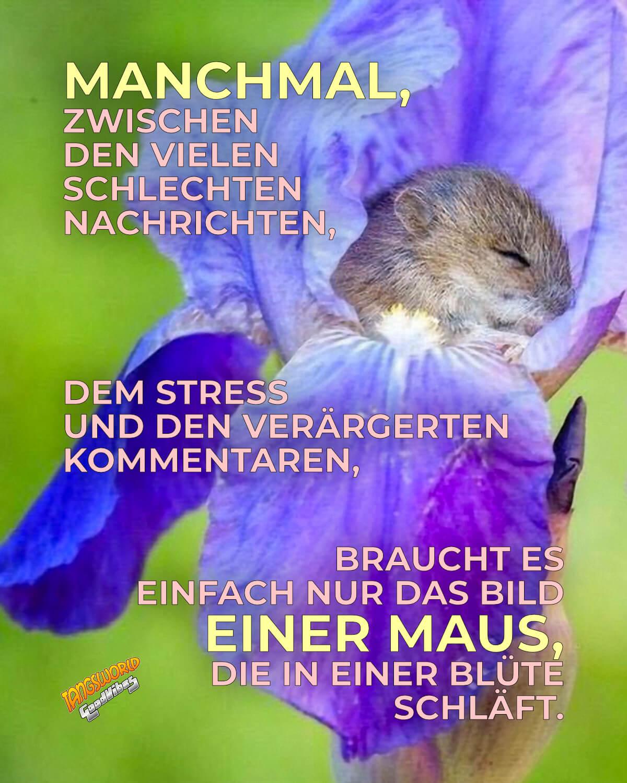 Manchmal - zwischen den vielen schlechten Nachrichten, dem Stress und den verärgerten Kommentaren - braucht es einfach nur das Bild einer Maus, die in einer Blüte schläft. - GoodVibes