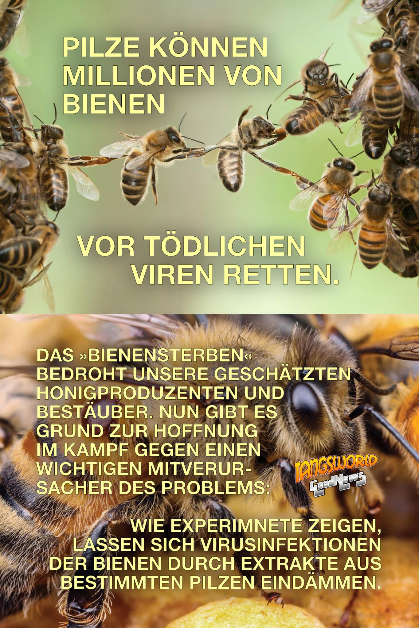 """Pilze können Millionen von Bienen vor tödlichen Viren retten. Das sogenannte """"Bienensterben"""" bedroht unsere geschätzten Honigproduzenten und Bestäuber. Nun gibt es Grund zur Hoffnung im Kampf gegen einen wichtigen Mitverursacher des Problems: Wie Experimnete zeigen, lassen sich Virusinfektionen der Bienen durch Extrakte aus bestimmten Pilzen eindämmen. - GoodNews"""