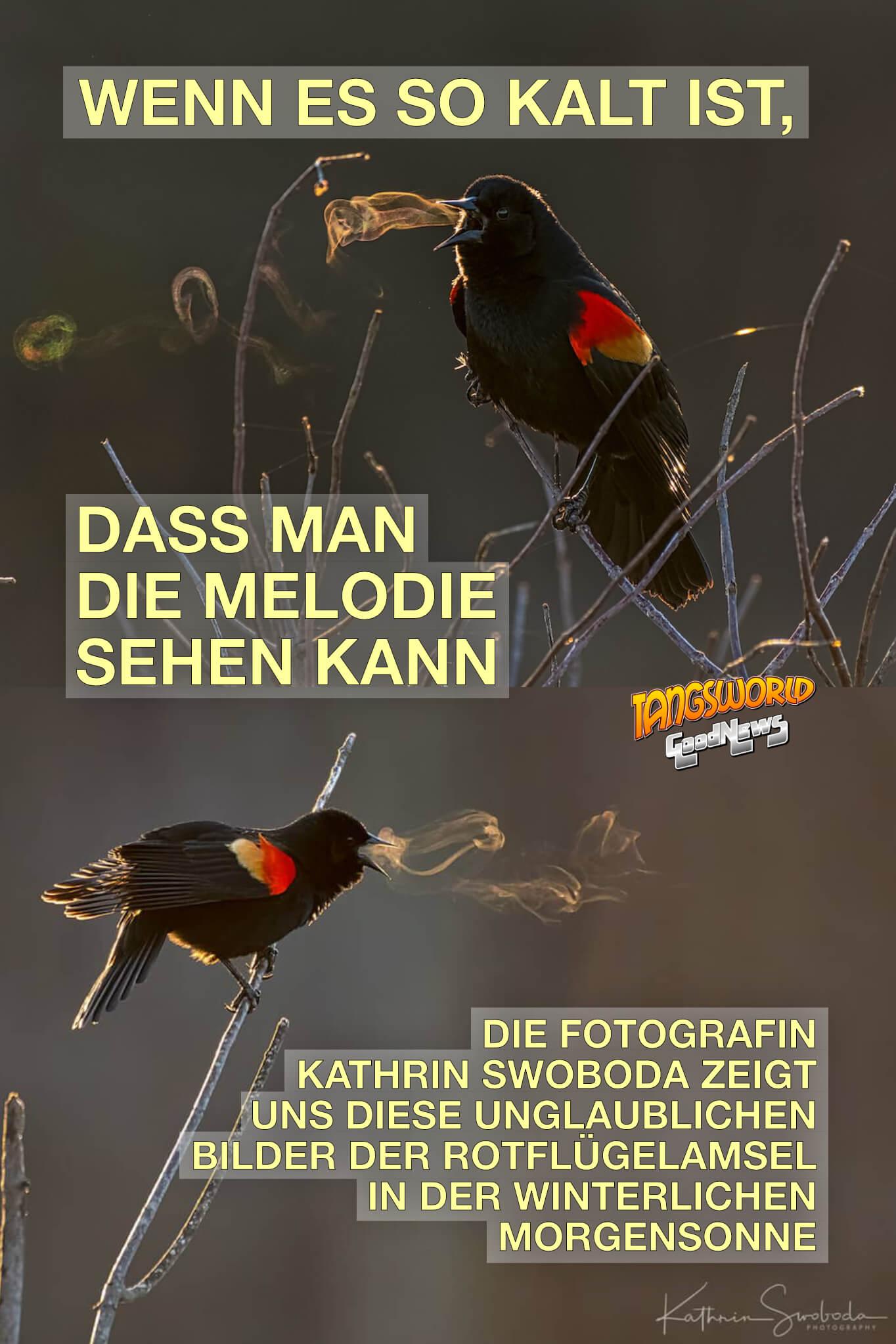 Wenn es so kalt ist, dass man die Melodie sehen kann. Die Fotografin Kathrin Swoboda zeigt uns diese unglaublichen Bilder der Rotflügelamsel in der winterlichen Morgensonne - GoodNews | Fotos: Kathrin Swoboda